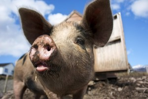 Piggy Hilton