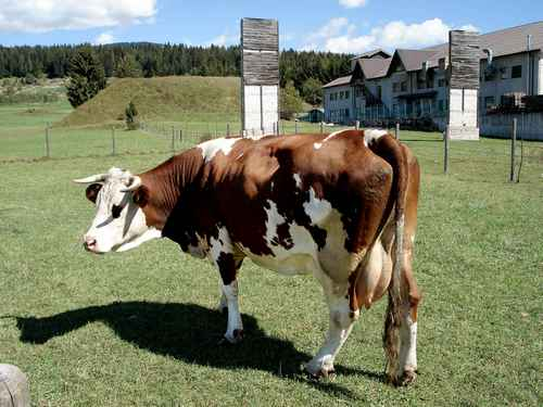Cow gives off methane
