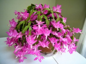 Christmas Cactus from Chestersflowers.com