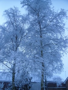 Silver Birch - Snow Jan 2013