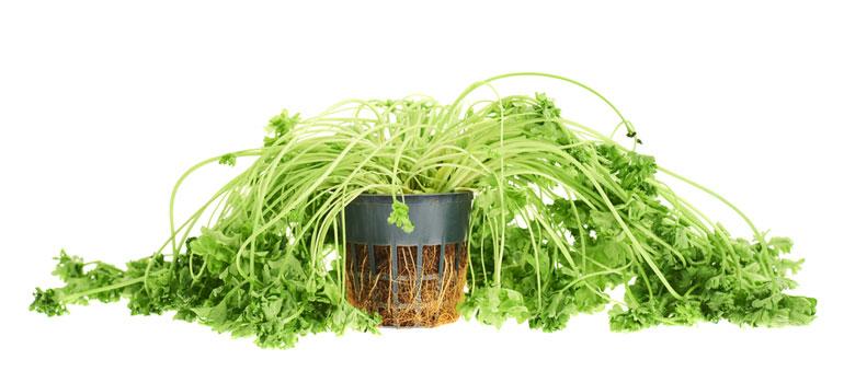 floppy-coriander