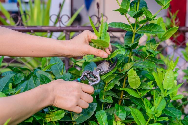 Pruning is essential to ensure new flowers grow