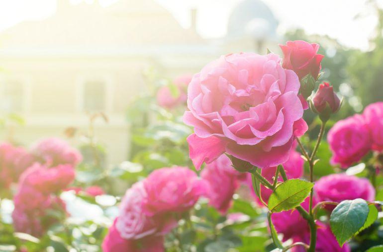 Pink roses in garden in autumn