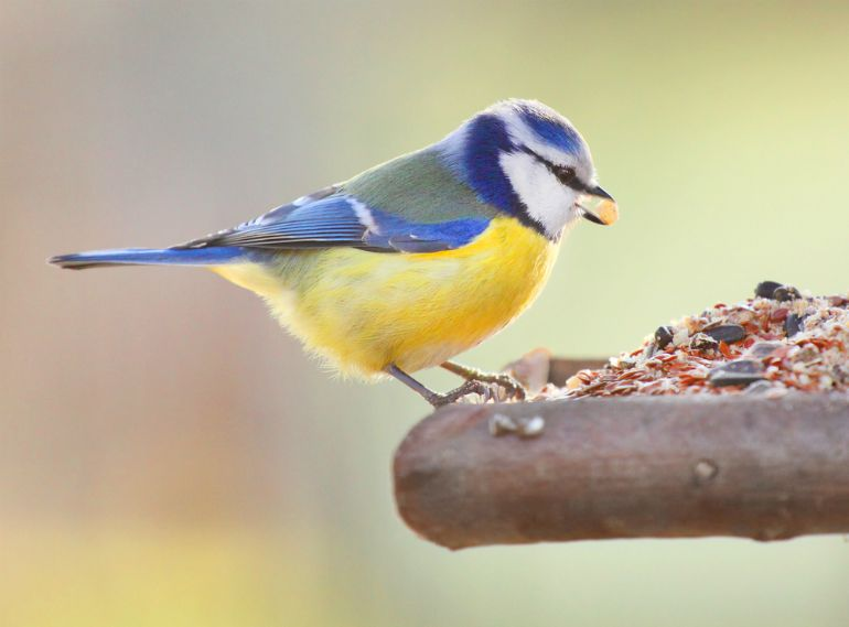 Blue tit feeding from bird table